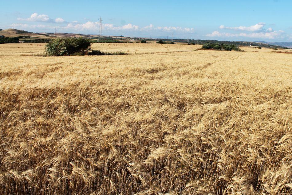 interrotte dalle note del grano dorato